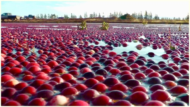 cranberries_floating_pic
